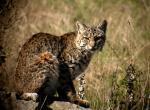 Bocat in the grass animaux provenant de Bobcats