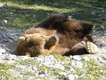 Check Out the Pads on This Bear's Feet! animaux provenant de Ours