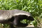 Badger with stunning black/white markings animaux provenant de Blaireau
