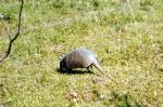 South American Armadillo in a Grassy Field animaux provenant de Tatou