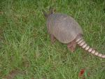 Texas Armadillo walking away from camera animaux provenant de Tatou