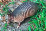Cute Armadillo from Southeast US animaux provenant de Tatou