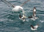 Dynamic Photo Of Serious Adult Albatross Interacting With Four Smaller Birds animaux provenant de Albatros