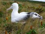 Zoom Photo Of Nesting Albatross In Grass With Odd Orange New Zealand Vegetation animaux provenant de Albatros