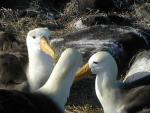 Three Albatrosses With White Heads Converse Near Gray Boulder animaux provenant de Albatros