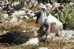 Black And White Laysan Albatross Feeds Brown Chick Beak To Beak animaux provenant de Albatros