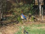 Fat Bluebird Stands On Small Tree In North Carolina Suburban Lawn animaux provenant de Oiseau bleu