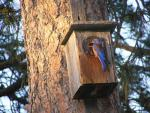 Western Bluebird At Threshold of Nest Box Mounted On Pine Tree animaux provenant de Oiseau bleu