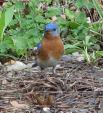 Eastern Bluebird Stands On Patch Of Thatch On Ground animaux provenant de Oiseau bleu
