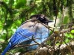 Big Fat Bluebird With Black Hed Rests In Spruce Tree animaux provenant de Oiseau bleu