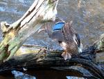 Great Shot Of A Pacific Black Duck In Motion animaux provenant de Duck, Pacific Black