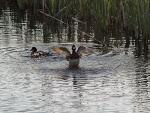 Fly Away! Tufted Duck Leaving His Girlfriend Alone animaux provenant de Canard touffet�