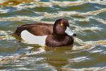 This Tufted Duck Has Extremelly Yellow Eyes animaux provenant de Canard touffeté