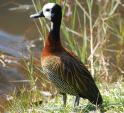 Striking White-faced Whistling Duck Standing At Water's Edge animaux provenant de Canard � t�te blanche