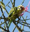 Monk Parakeet Appears To Attack Flower In Argentina's Capital animaux provenant de Perruche  Monk