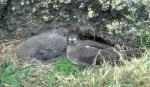 Kermadec Petrel Adult And Chick Nest Together animaux provenant de P�trel