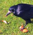 Rook Devours Pieces Of Chicken Meat Left On Grass animaux provenant de Corbeau freux