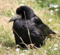 Fat Looking Rook Beds Down In Grass With Daisies animaux provenant de Corbeau freux