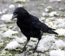 Indignant Looking Rook Stands On Long Legs In Clumps Of Melting Snow animaux provenant de Corbeau freux