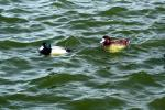Two Lesser Scaups Among Small Waves animaux provenant de Fuligule
