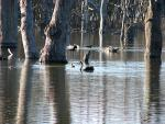 Black Goose Swims In Flooded Forest In It's Native Australia animaux provenant de Cygne noir