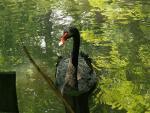 Former East Germany: Satisfied-Looking Black Swan animaux provenant de Cygne noir