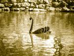 Sepia Black Swan Floats In Water Lined By Stone And Mortar animaux animaux provenant de Cygne noir