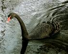 Black Swan Makes Wake In Richly Textured Pond animaux provenant de Cygne noir
