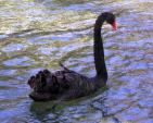 Black Swan Floats,  Puts Neck Straight Up And Looks Down With Red Beak animaux provenant de Cygne noir