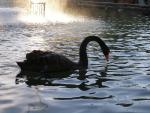 Black Swan Noses Water With Red Beck In Tuscany Park animaux provenant de Cygne noir