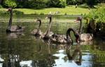 Five Australian Black Swans Float On Grounds Of Leeds Castle animaux de                   Daliana8 provenant de Cygne noir