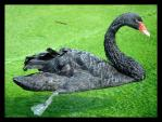 Black Swan With Red Beak Paddles With Big Feet In Green Pond animaux provenant de Cygne noir